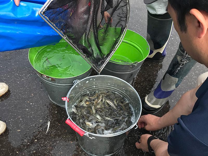 2018 長良川郡上 アマゴ稚魚放流活動